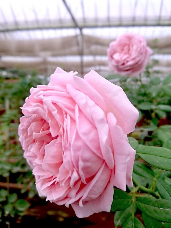 'Anne-Sophie Pic' Rose Sideview