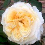 'Beatrice' Rose