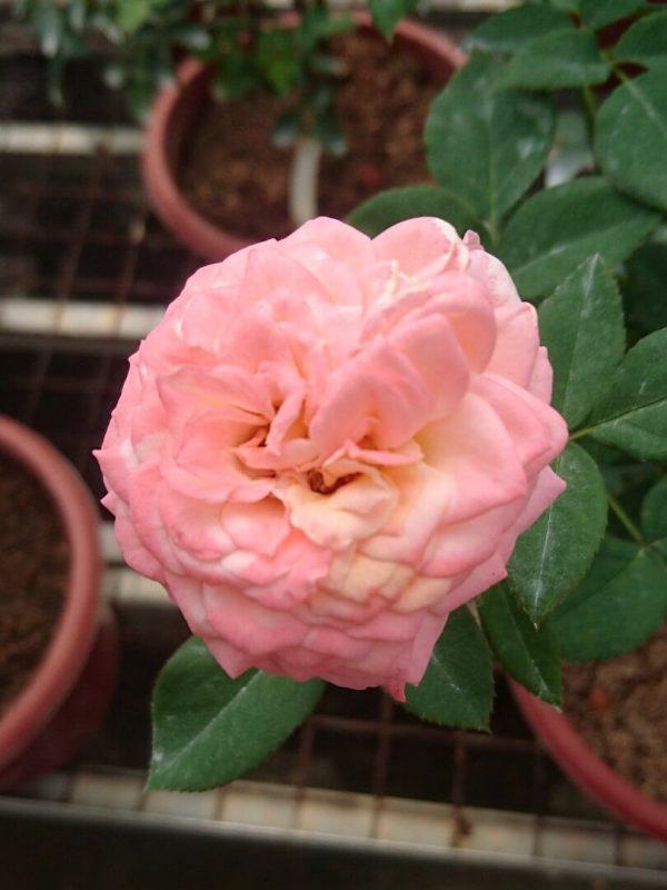 'Beryl Joyce' Rose » Rose Plants