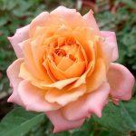 'Beryl Joyce' Rose
