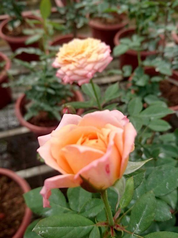 'Beryl Joyce' Roses » Rose Plants
