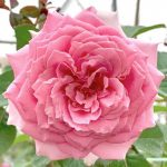'Bienvenue' Rose