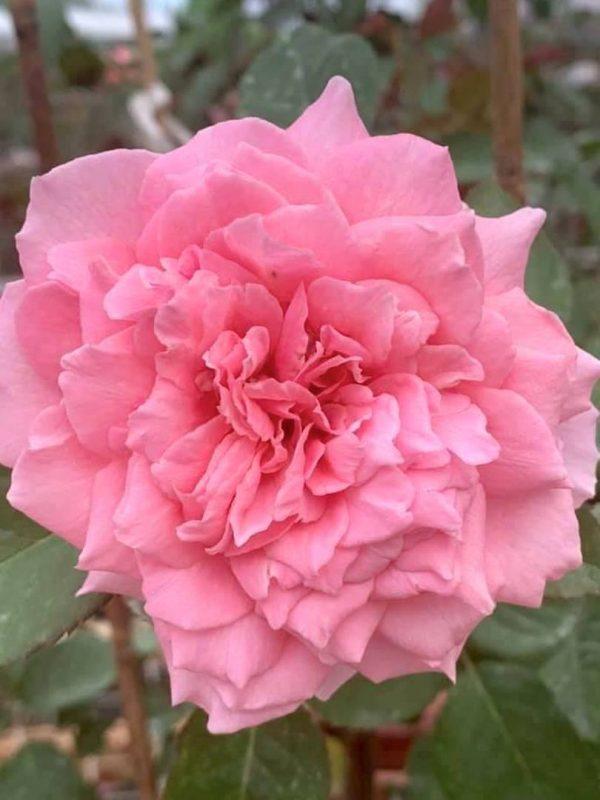 'Bienvenue' Rose » Rose Plants