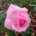 'Bishop's Castle' Rose