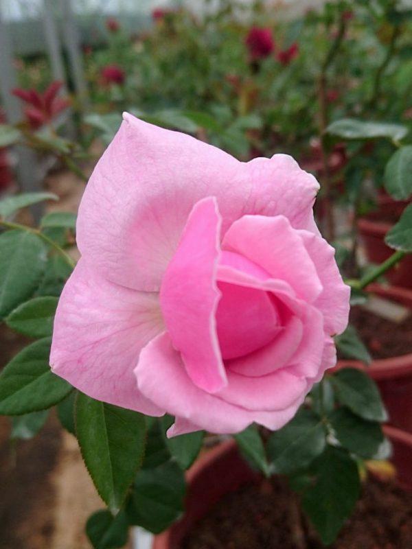 Rosa 'Bishop's Castle' » Rose Plants