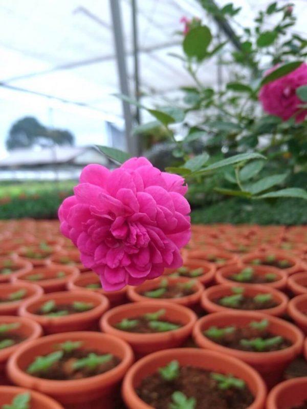 Rosa 'Blue Boy' » Rose Plants