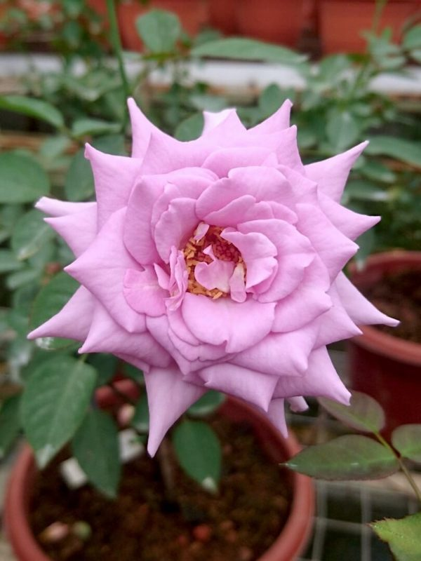 Rosa 'Blue Moon' » Rose Plants