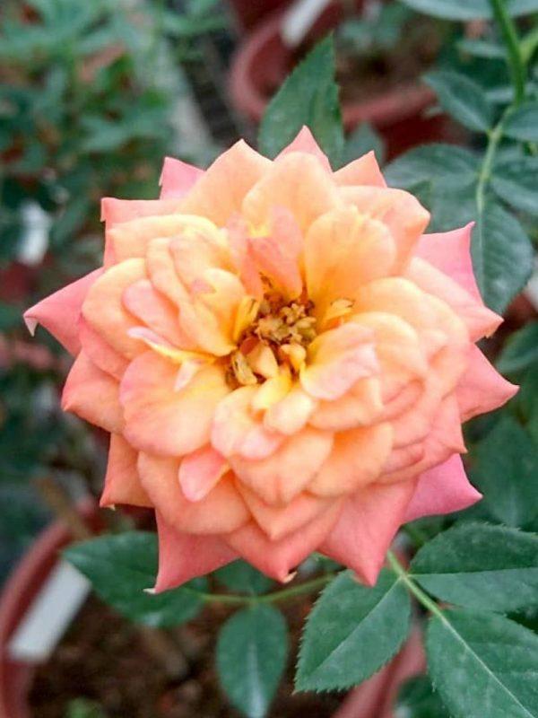 Rosa 'Briosa' » Rose Plants