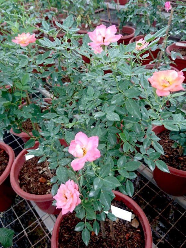 'Briosa' Rose Plant » Rose Plants