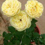 'Catalina' Rose