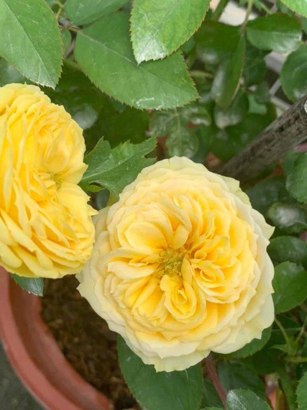 Rosa 'Catalina' » Rose Plants