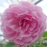 'Charles Rennie Mackintosh' Rose