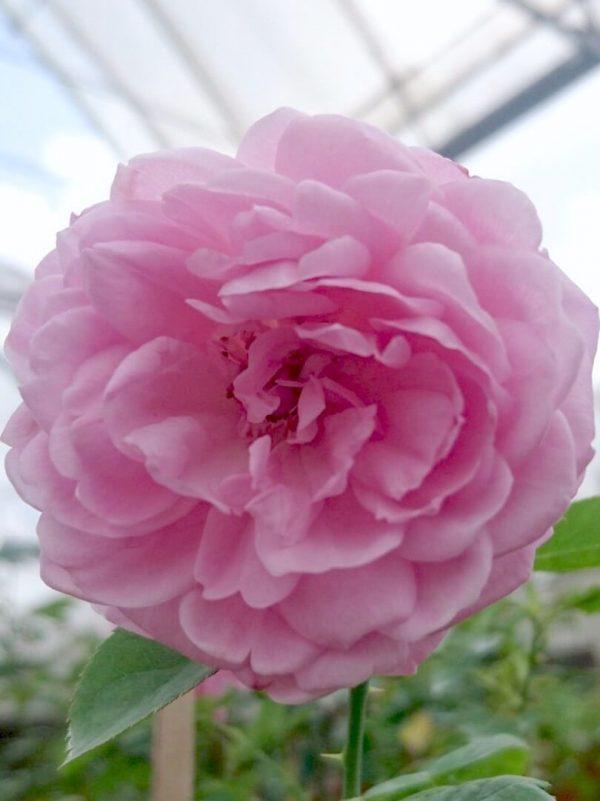 Rosa 'Charles Rennie Mackintosh' » Rose Plants