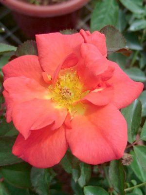 'Cinco de Mayo' Rose