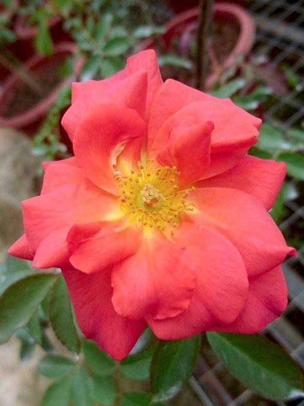 Rosa 'Cinco de Mayo' » Rose Plants