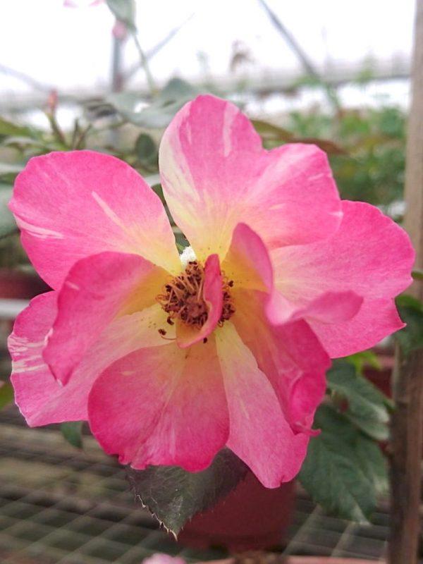 Rosa 'Citrus Splash' » Rose Plants