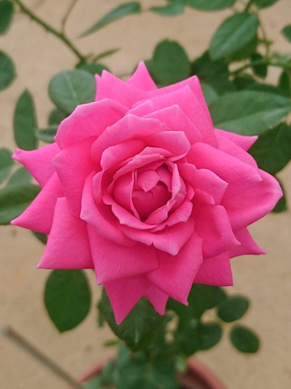 Rosa 'Claire Marshall' » Rose Plants