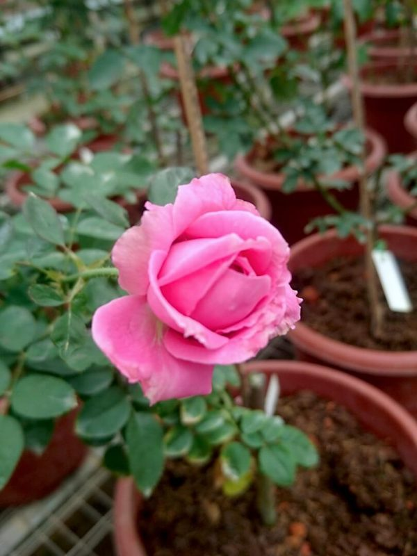 Rosa 'Claire Marshall' Blooming » Rose Plants