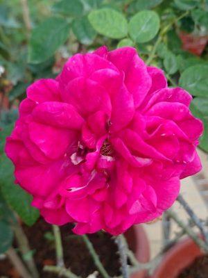 'The Dark Lady' Rose