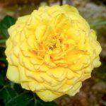 'Diana' Rose Tree