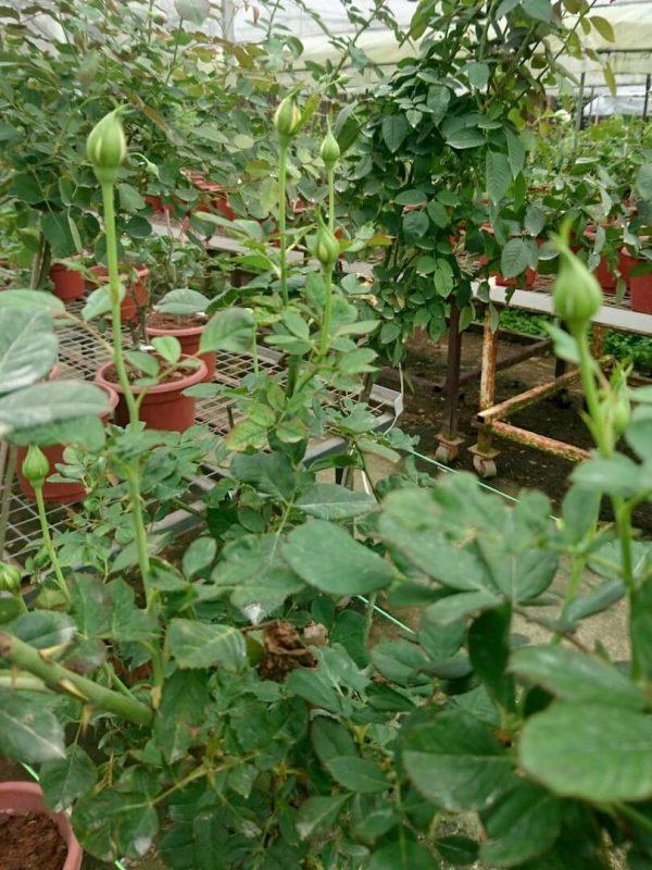 'Diana' Rose Tree Buds