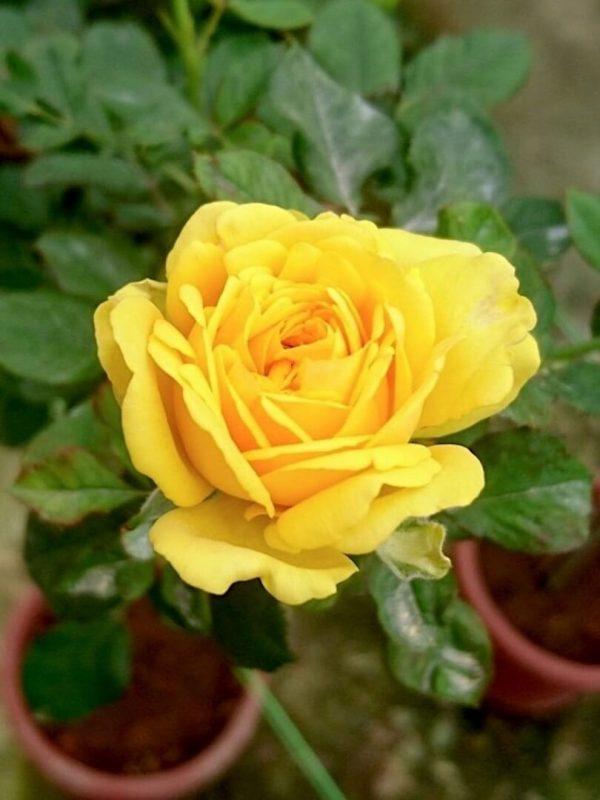 'Diana' Rose