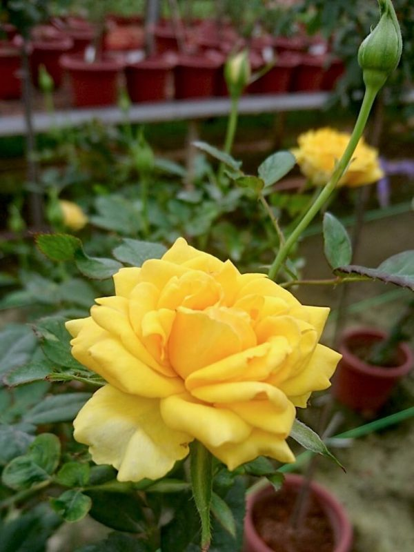 'Diana' Roses and Buds