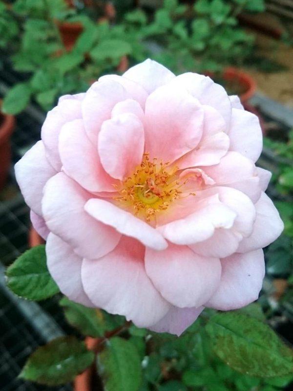 Rosa 'Distant Drums' » Rose Plants