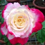 'Double Delight' Rose