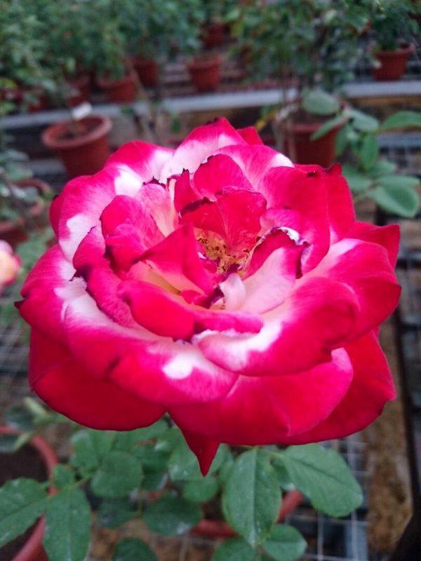 'Double Delight' Rose » Rose Plants