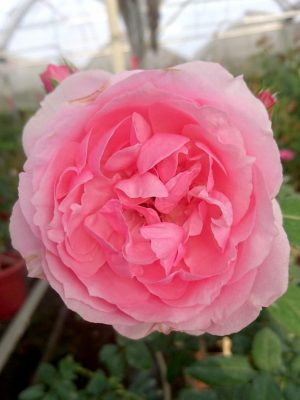 'Eckart Witzigmann' Rose