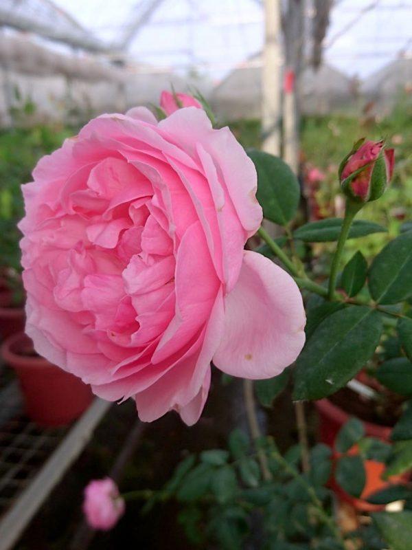 Rosa 'Eckart Witzigmann' Sideview » Rose Plants