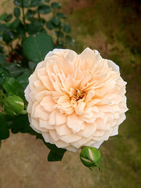Rosa 'English Garden' with Buds » Rose Plants