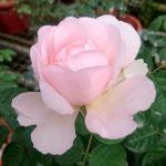 'Eustacia Vye' Rose