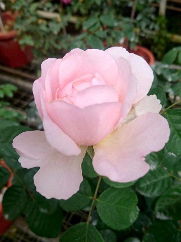 Rosa 'Eustacia Vye' » Rose Plants
