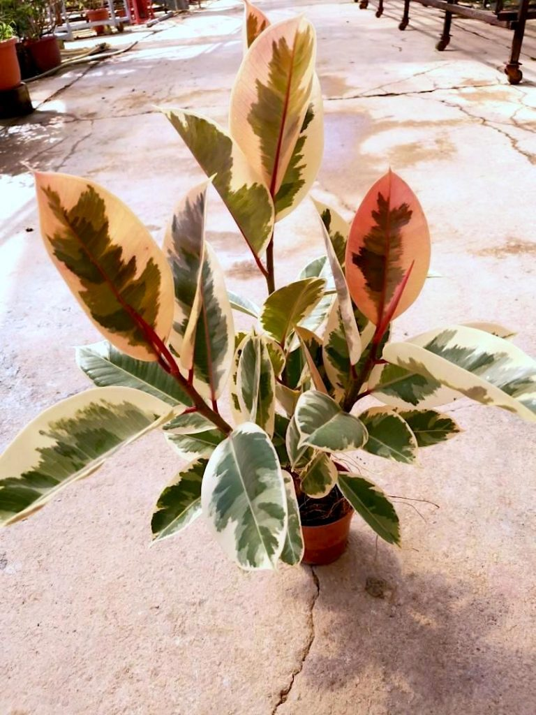 Ficus Elastica Variegated / Rubber Plant » Foliage