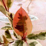 Ficus Elastica (Rubber Plant) Variegated