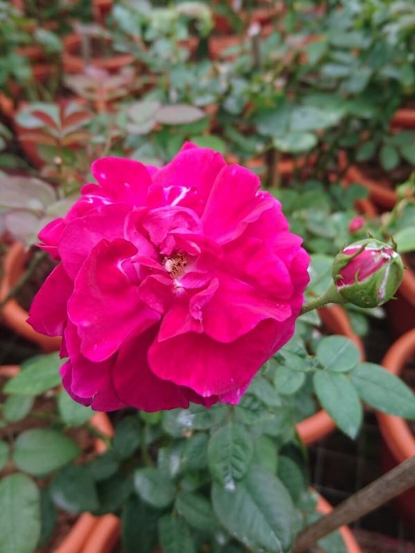 Rosa 'Fisherman's Friend' Rose with Bud » Rose Plants