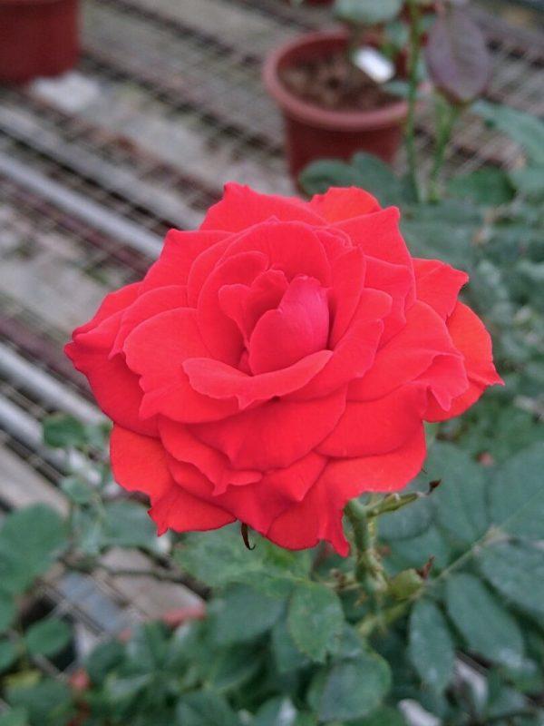 Rosa 'Fusilier' » Rose Plants