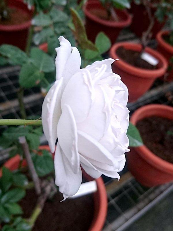 Japanese Rose 'Gabriel' Sideview » Rose Plants