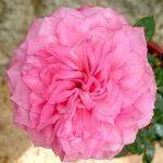 'Heart 'n' Soul' Rose