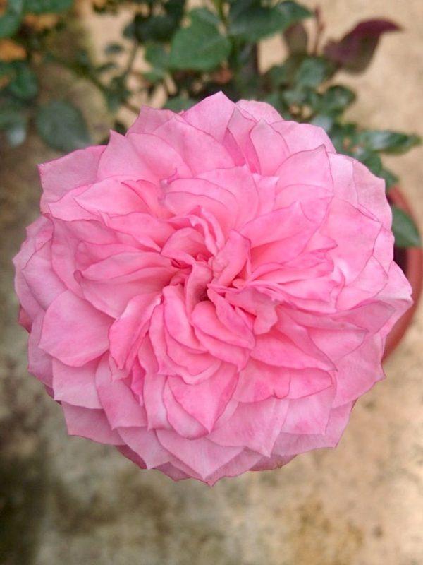 Rosa 'Heart 'n' Soul' » Rose Plants