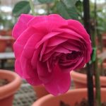'Hector' Rose