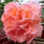'Isabelle Autissier' Rose