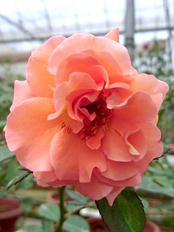Rosa 'Isabelle Autissier' » Rose Plants