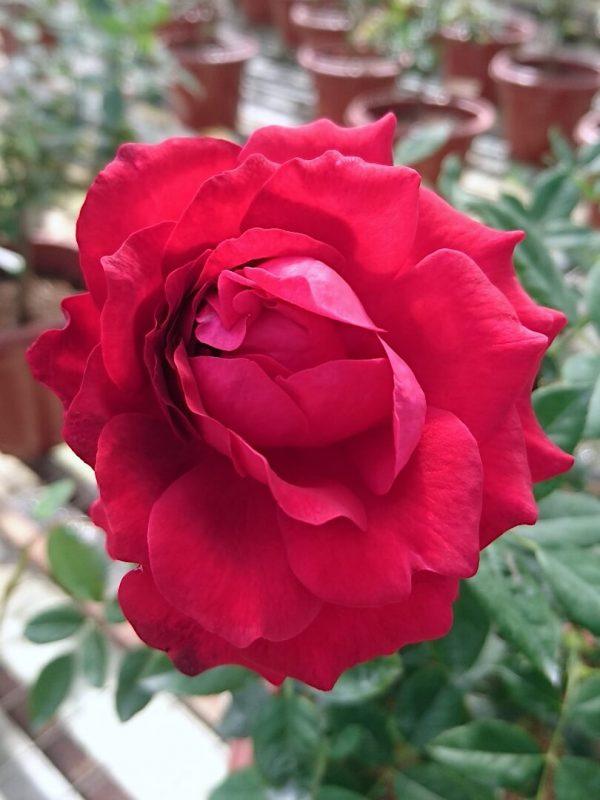 Rosa 'Janice Kellogg'
