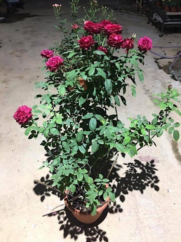 'Janice Kellogg' Rose Plant