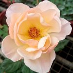 'Jude the Obscure' Rose