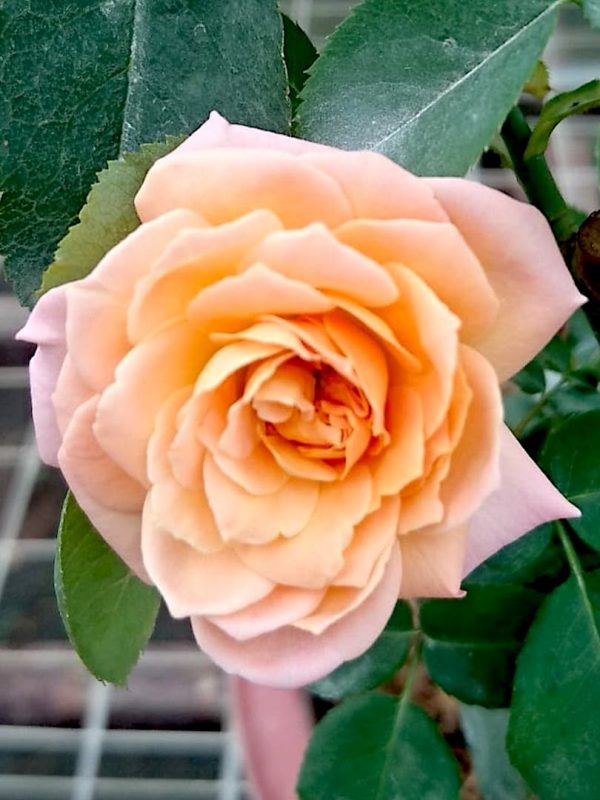 'Julieta' Rose » Rose Plants