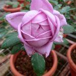 'Kinda Blue' Rose
